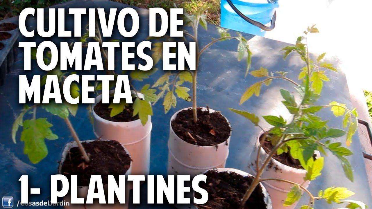 Cultivo De Tomate Parte 1 Como Separar Plantines Del Semillero  ~ Como Cultivar Tomates En El Huerto