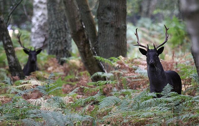 Two Black Stags Animals Rare Animals Fallow Deer