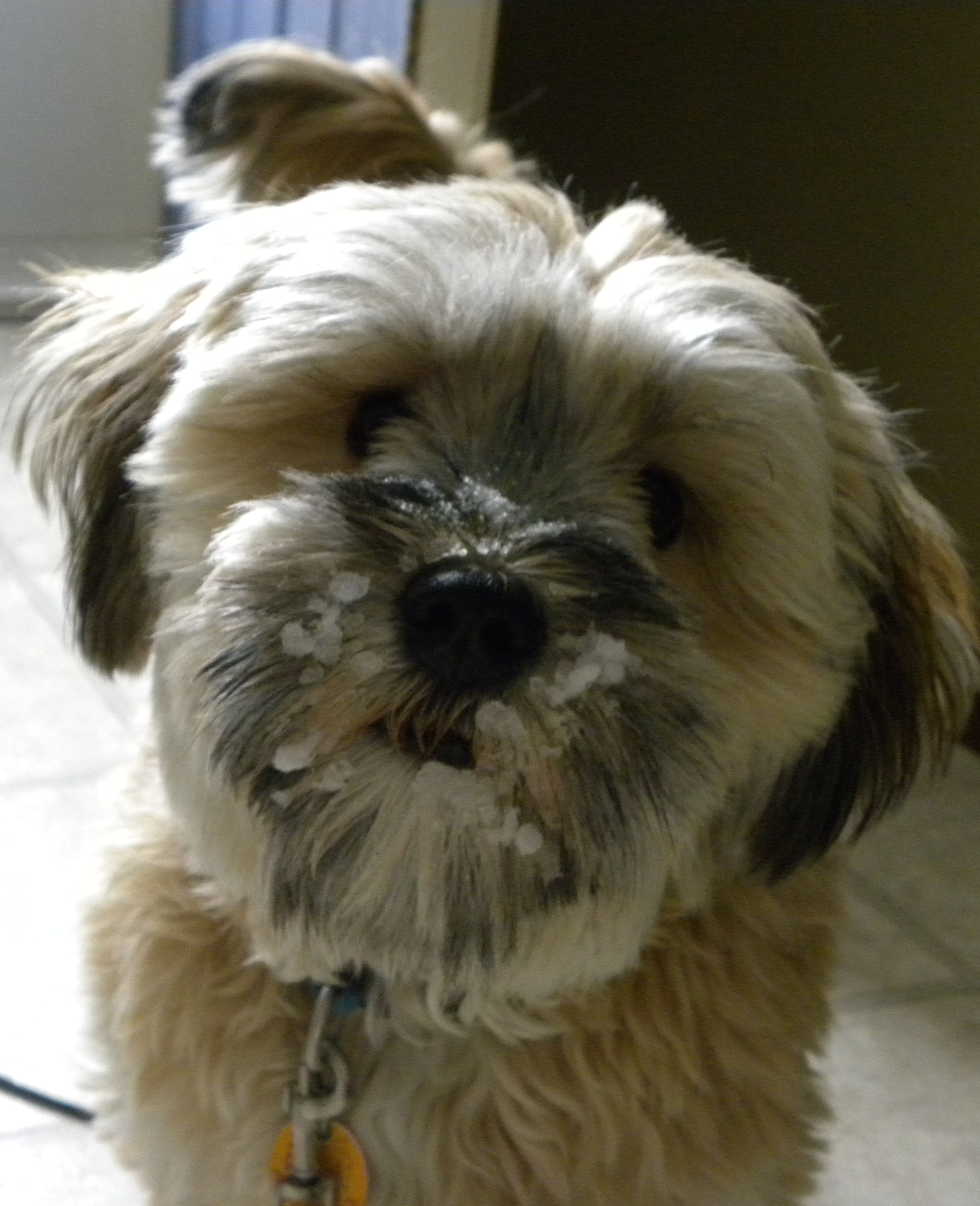 Max The Mini Schnauzer Shih Tzu Mix New Puppy Puppies Pet