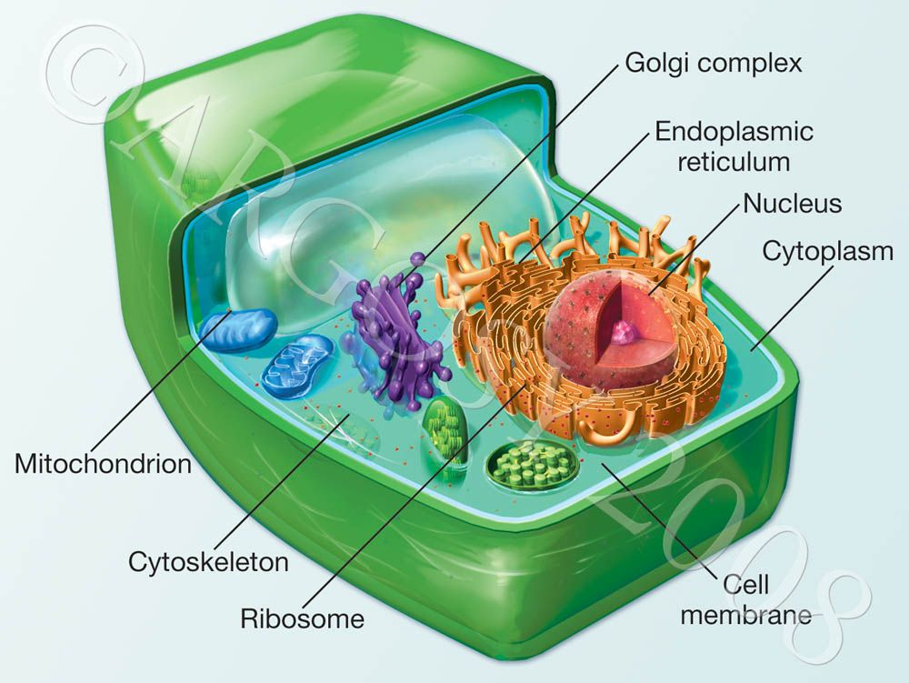 plant cell - Google Search   School Projects   Pinterest   Plant ...