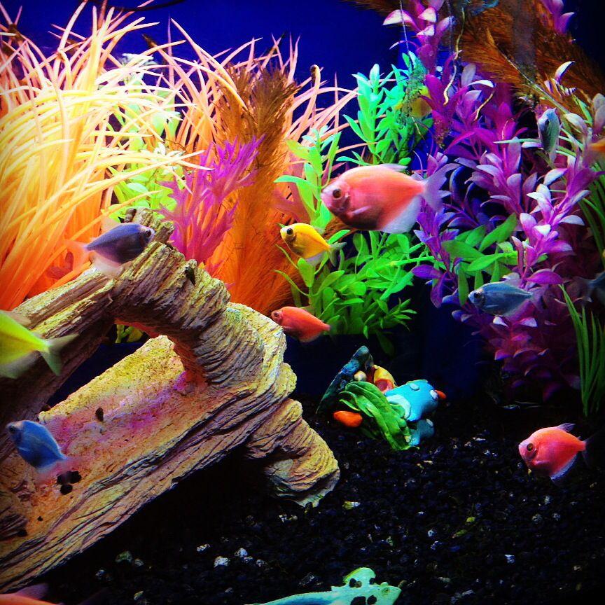 Have You Seen Aquarium Adventure S Glofish Tetras These Gorgeous Fish Are Whiteskirt Tetras That Have Been Gen Glow Fish Cool Fish Tanks Fish Tank Decorations