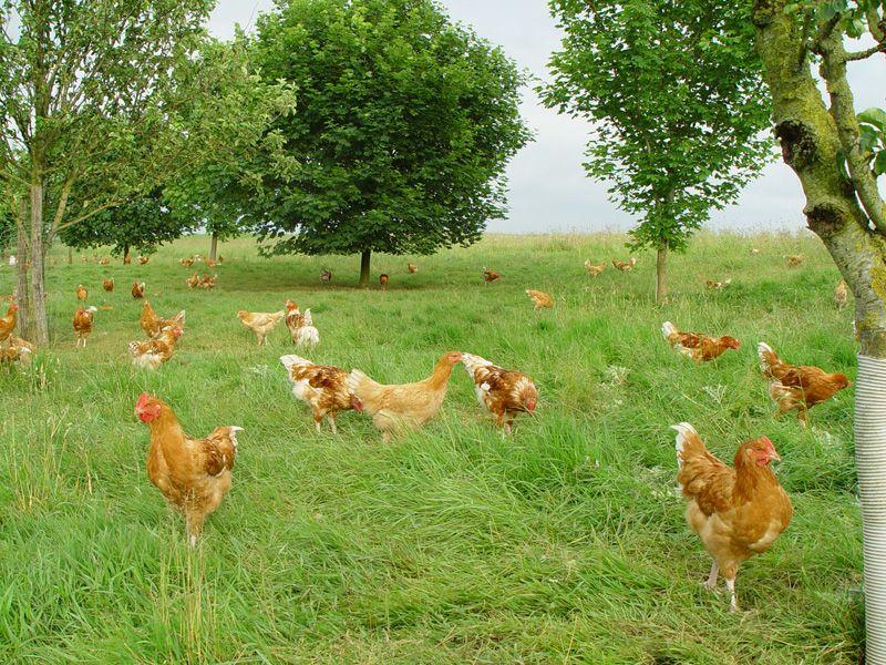 Farmland GRANJA DE POLLOS Granja y Pollo