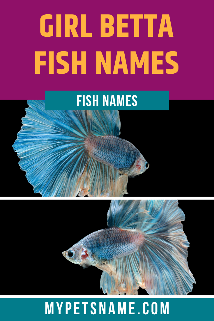 If You Re Looking For Girl Betta Fish Names That Are Beautiful And Will Never Become Tired Or Forgettable Even For In 2020 Betta Fish Betta Fish Types Girl Pet Names
