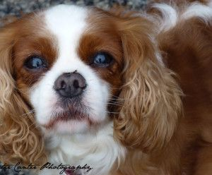 Look At These Eyes Cavalier Dog Cavalier King Charles Spaniel Furry Friend