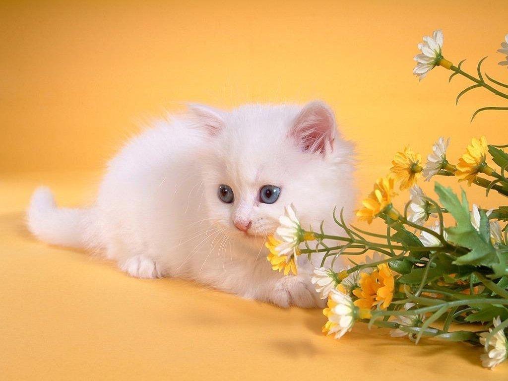 Открытки с белыми кошками, днем рождения