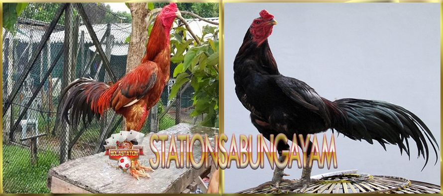 Perbedaan Ayam Kampung Dengan Ayam Jago Bangkok Asli Aduan Asli
