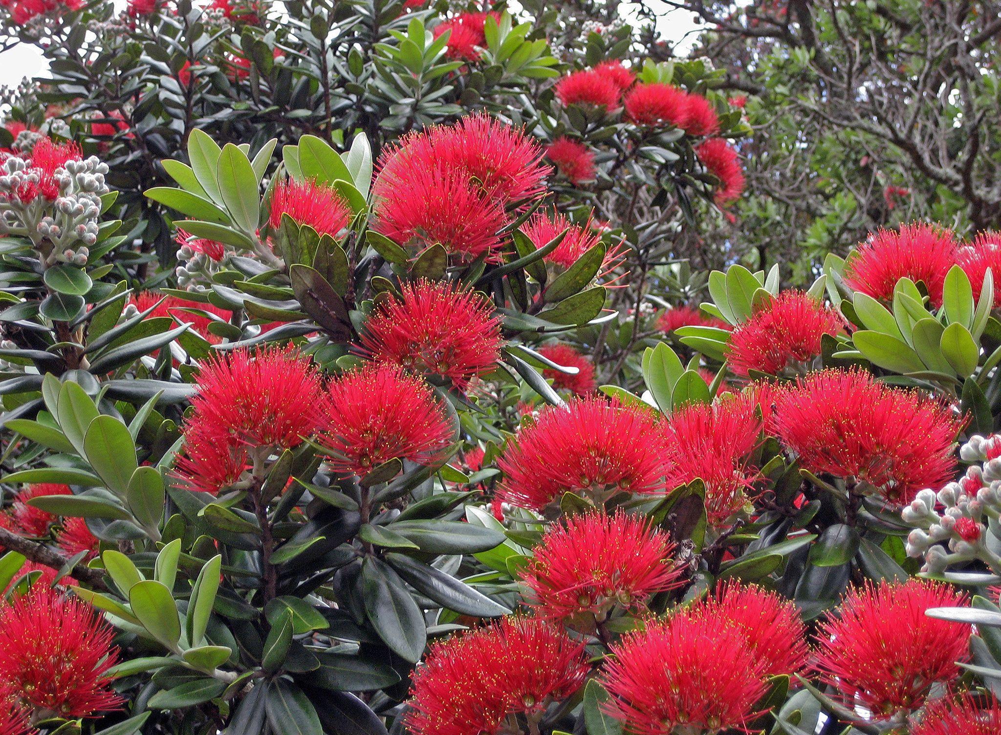 New Zealand Christmas Tree (Metrosideros excelsa