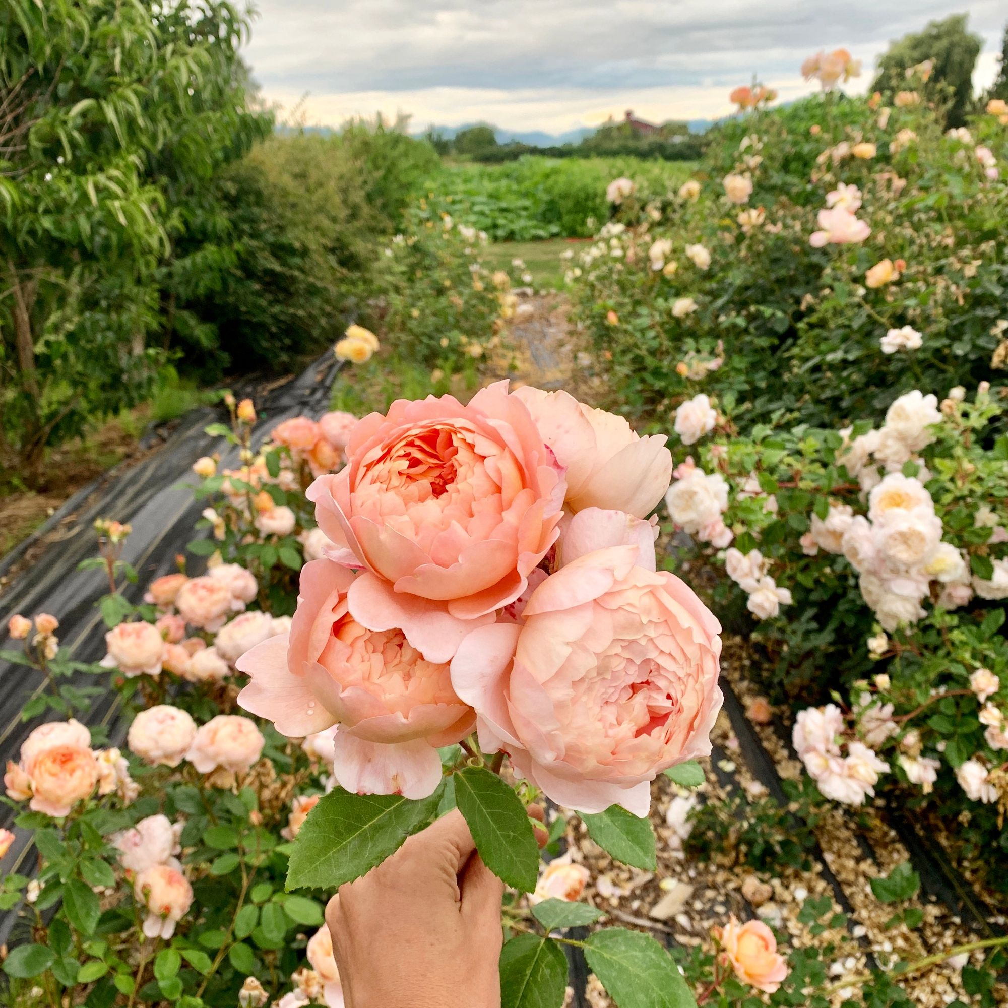 Garden roses at Floret Flower Farm. This is a David Austin Rose, Ambridge. It's soft apricot coloring and fruity scent are out of this world!  #growfloret #ayearinflowers