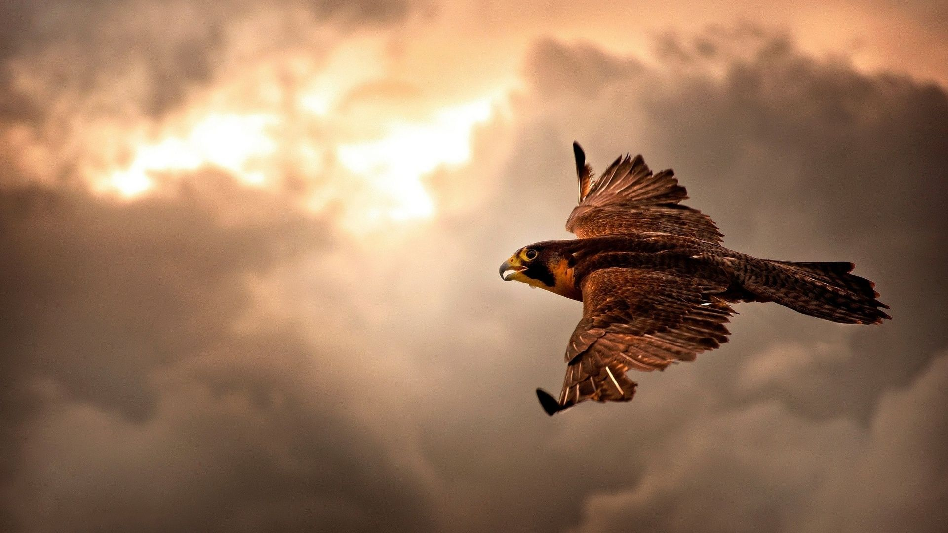 Falcons Wallpaper: 67382963 Awesome Falcon Wallpapers