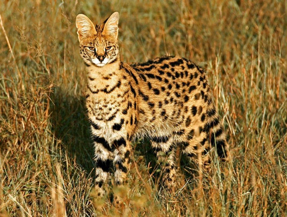 Le Serval (Leptailurus Serval)