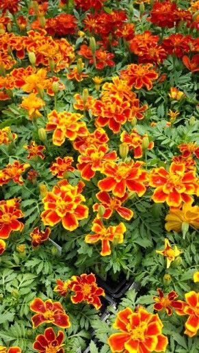 Durango flame marigolds, my personal favorite :)