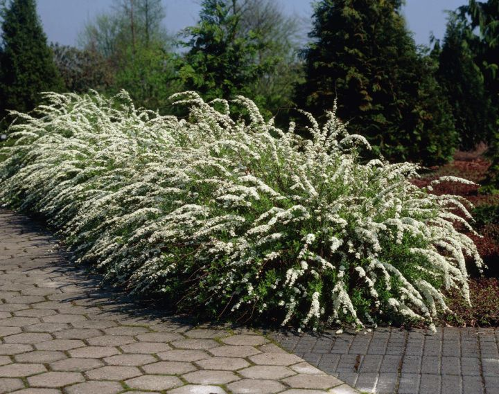 A Hedge For Laidback Gardeners Bridal Wreath Spirea