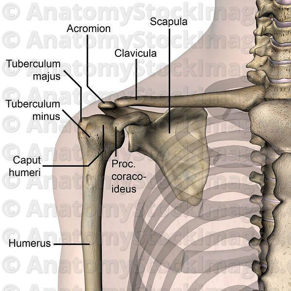 shoulder-anterior-bones-tuberculum-majus-minus-caput ...
