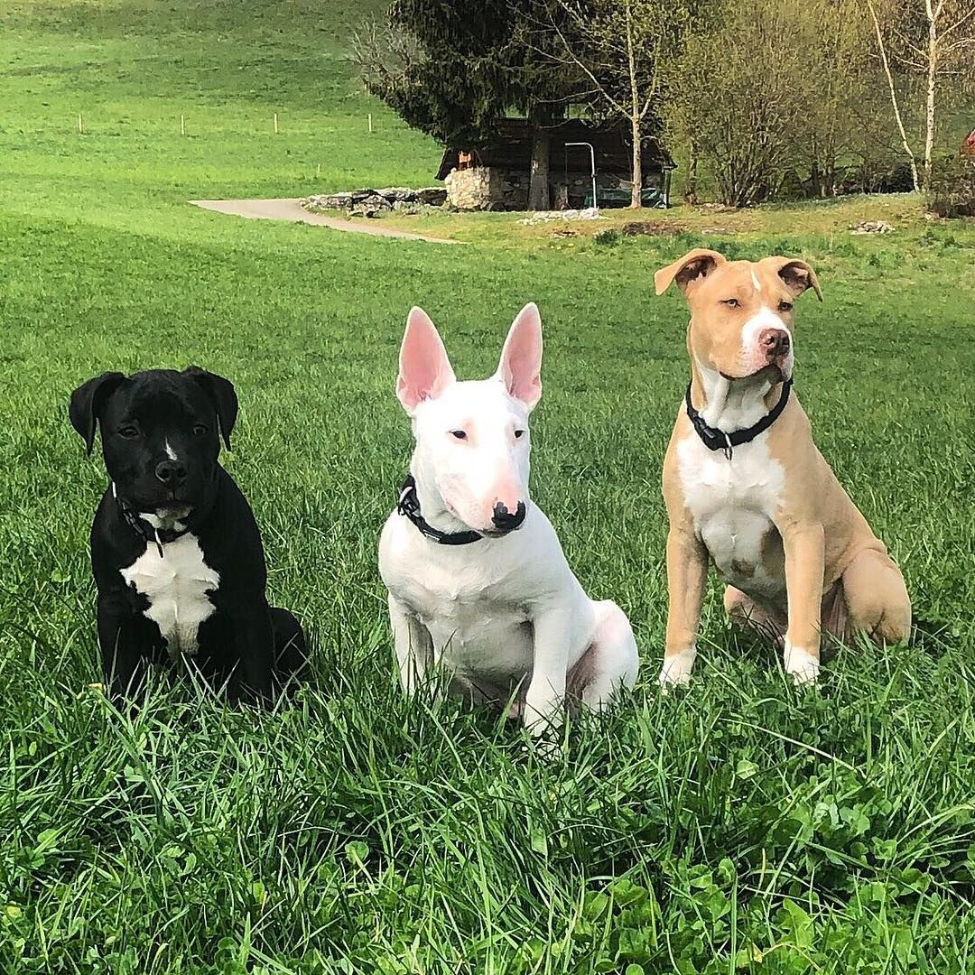 New The 10 Best Home Decor With Pictures Atom Hulk Osiris Animal Dog Dogfamily American Pitbull Terrier American Pitbull English Bull Terriers