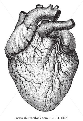 royalty free images - anatomical heart - vintage | anatomical, Muscles