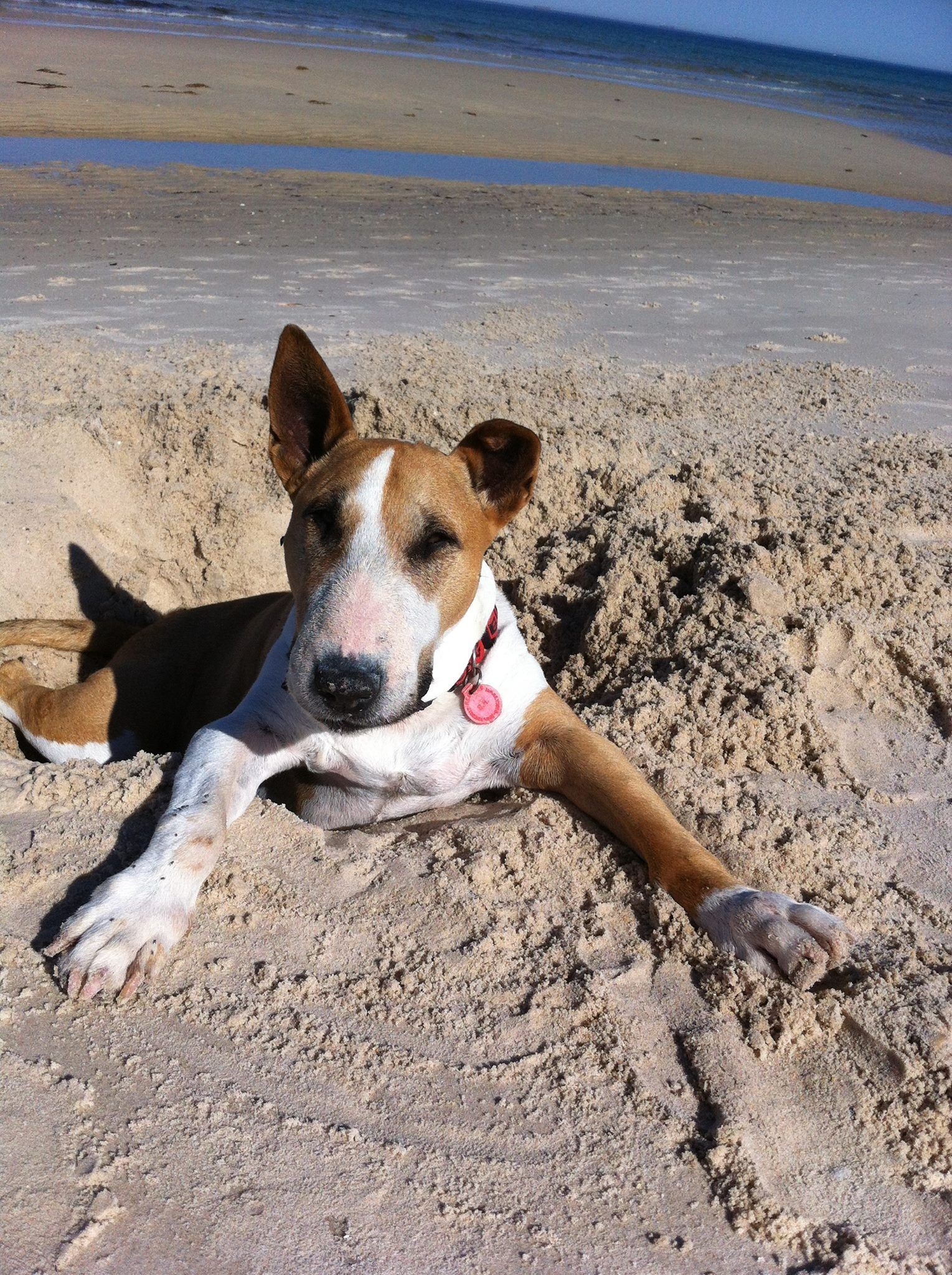 Pin by Carolyn Harvey on English Bullterriers love of my ...