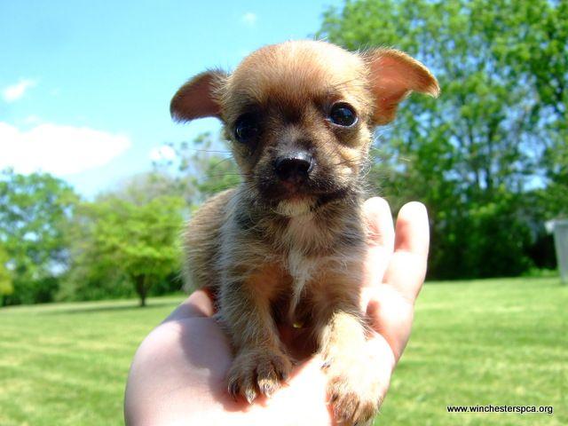 Chihuahua Puppy In Hand Baby Chihuahua Chihuahua Puppies Chihuahua