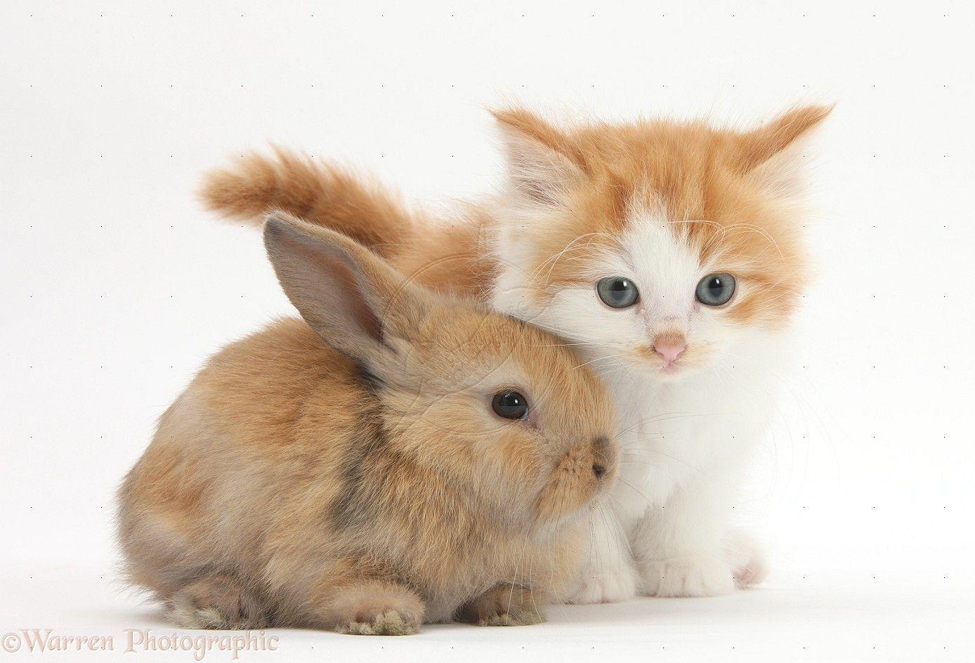Baby Rabbits Wp30891 Ginger And White Kitten Baby Rabbit Baby Kittens Cute Baby Cats Cute Baby Bunnies