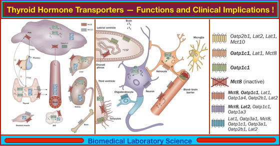 Thyroid Hormone Transporters Functions And Clinical Implications