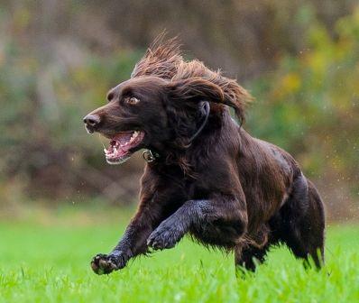 German Longhaired Pointer German Shorthaired Pointer German Shepherd Dogs Dogs