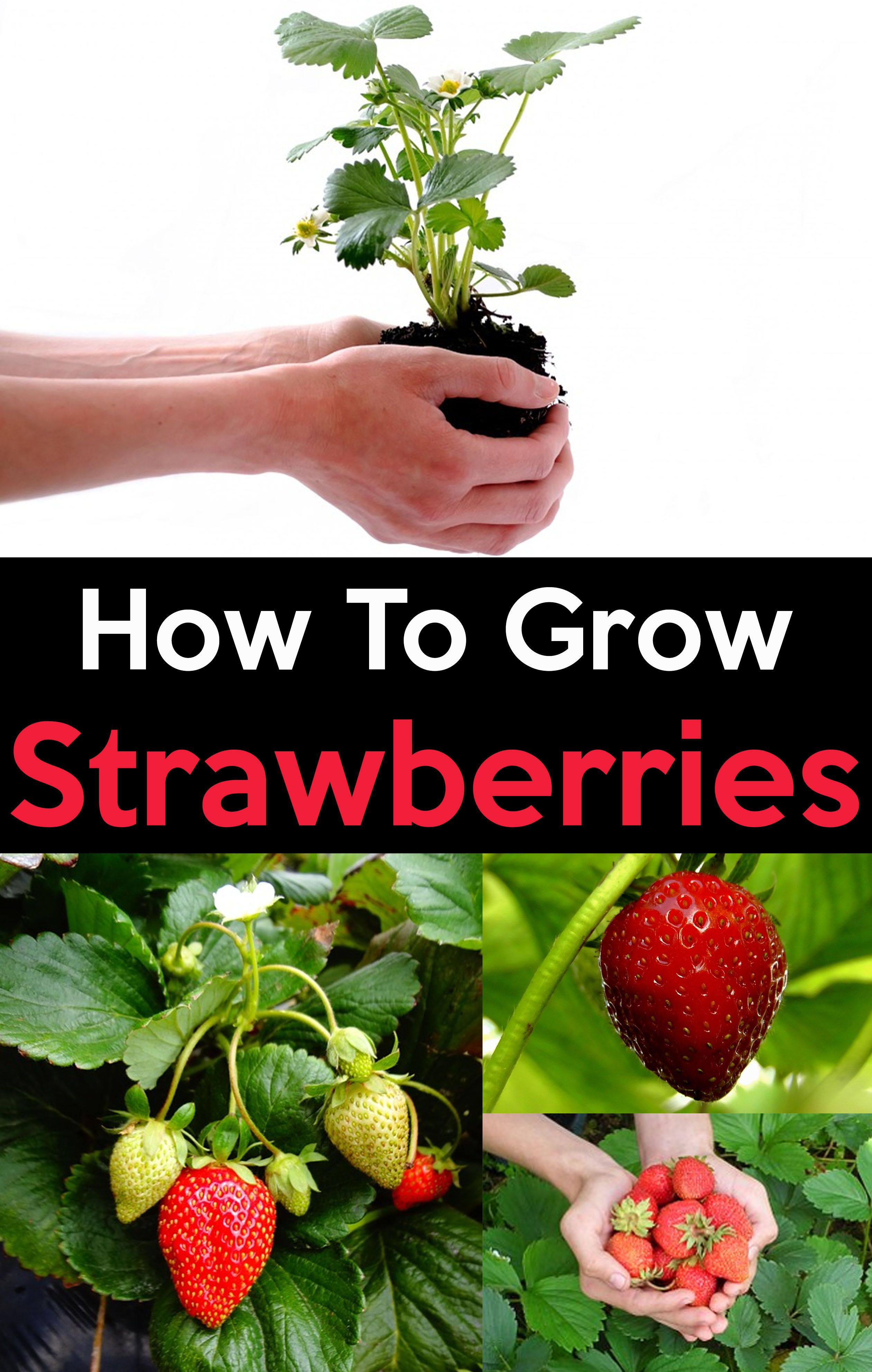 How To Grow Strawberries Easy Step By Step Guide Growing