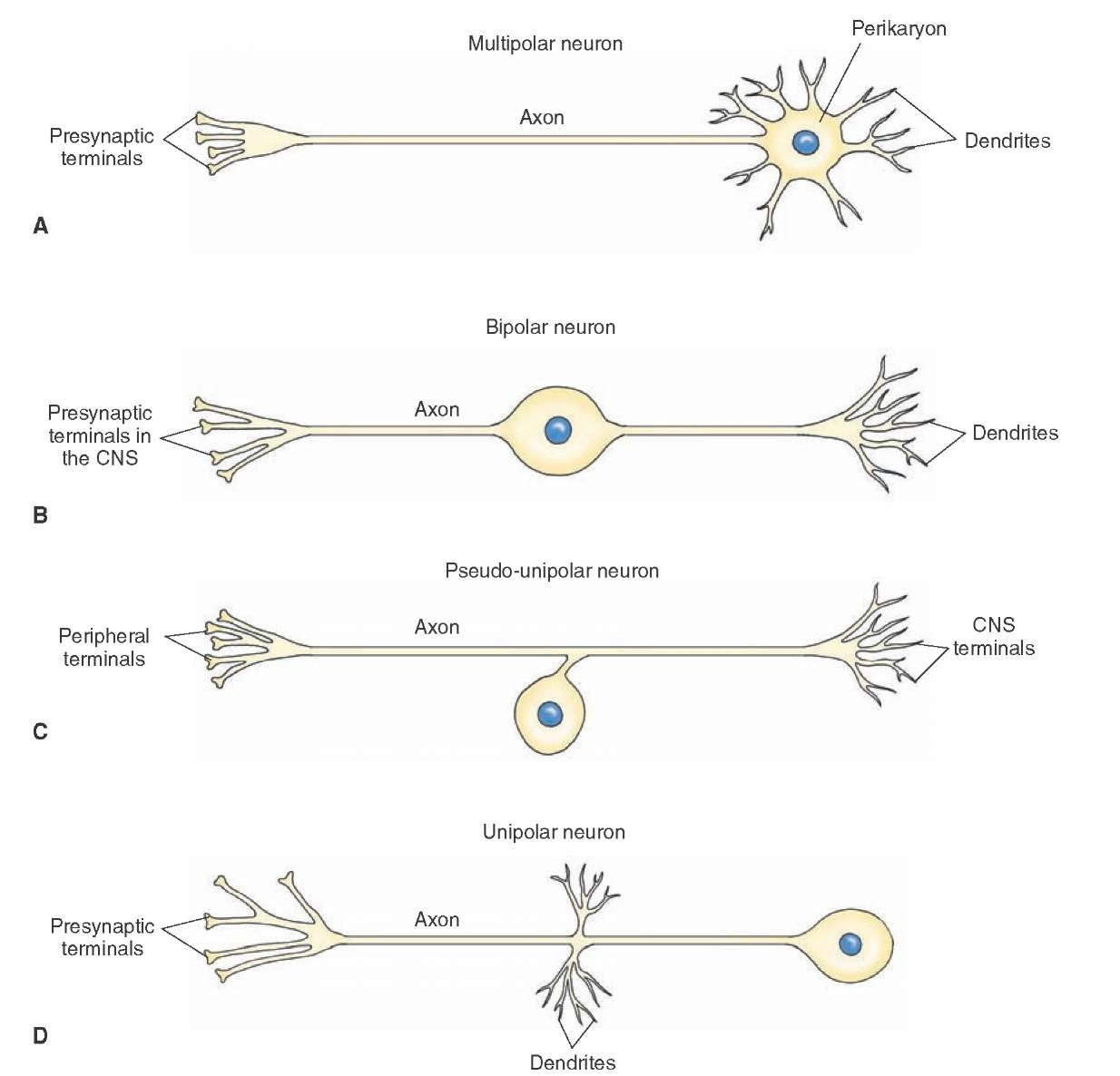 hight resolution of different types of neurons a multipolar neuron b bipolar neuron c pseudo unipolar neuron d unipolar neuron cns central nervous system