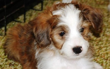 Beautiful Rare Sable Merle Male Aussiedoodle Pup Www Doodlesvilleva Com Aussiedoodle Puppies Puppy Pictures