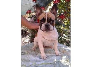 French Bulldog New York Breeders With Images French Bulldog
