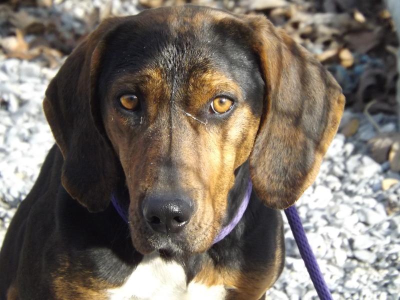 VIRGINIA meet ID 29345 an adoptable 2y/o female