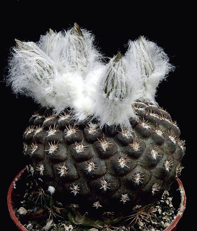 Piltz Kakteen thelocephala sp nov cactus y suculentas kaktus