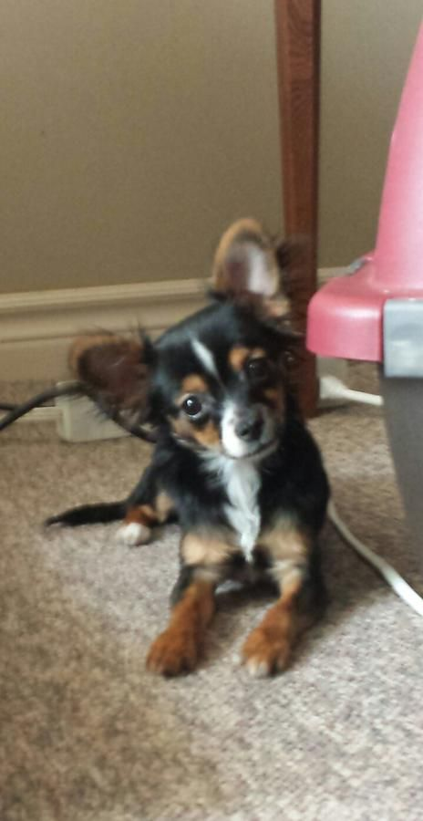 I M A Puppy Chihuahua 3 Lbs In London Ontario Hoobly
