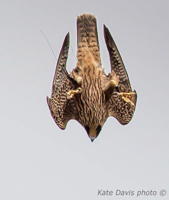 Raptor Blog October 2014 Raptors Bird Birds Of Prey Peregrine Falcon