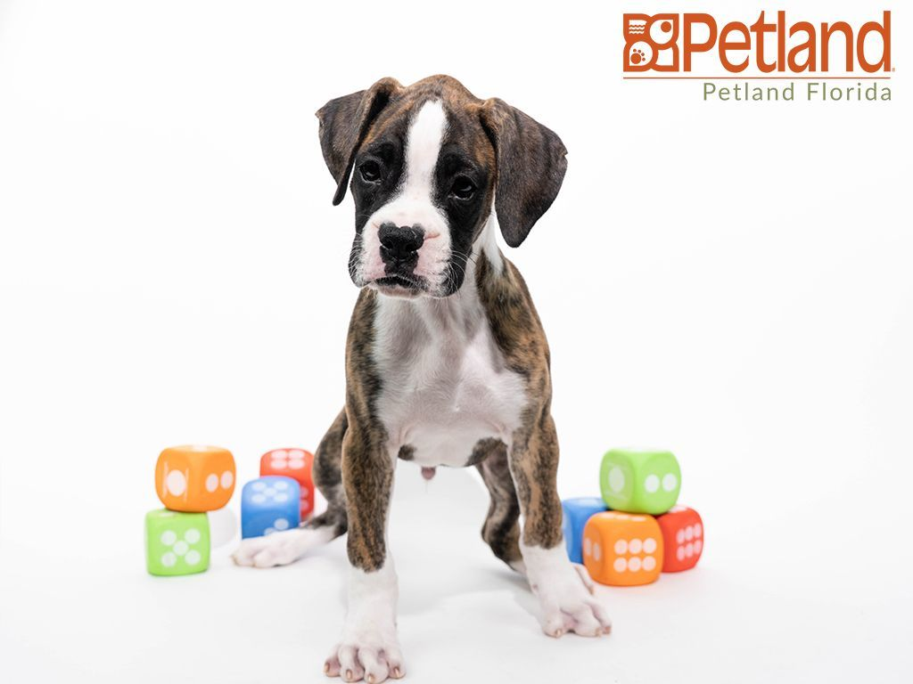 Boxer Puppies South Florida References