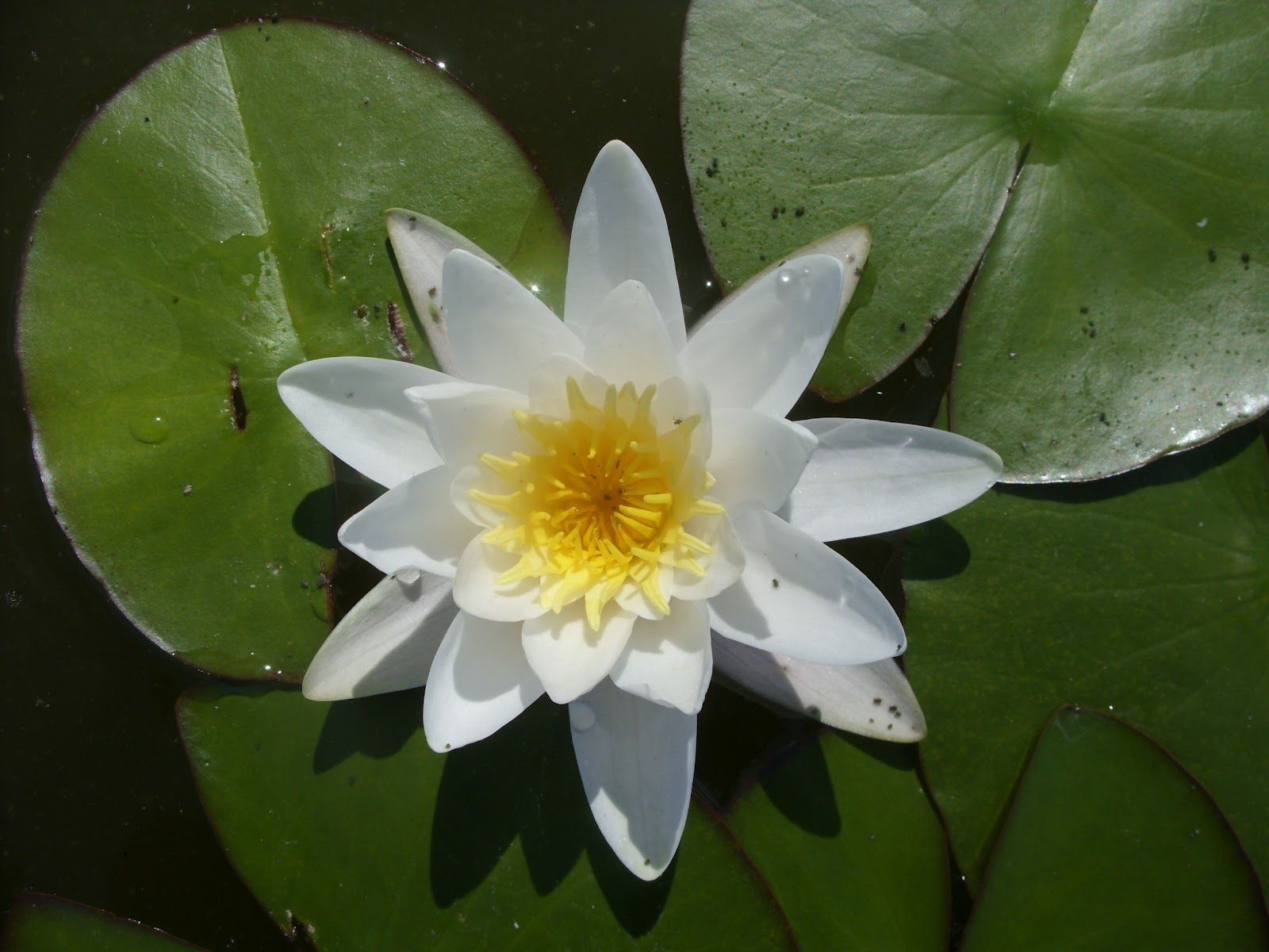 Jardim Autóctone: Nenúfar-branco na Vela