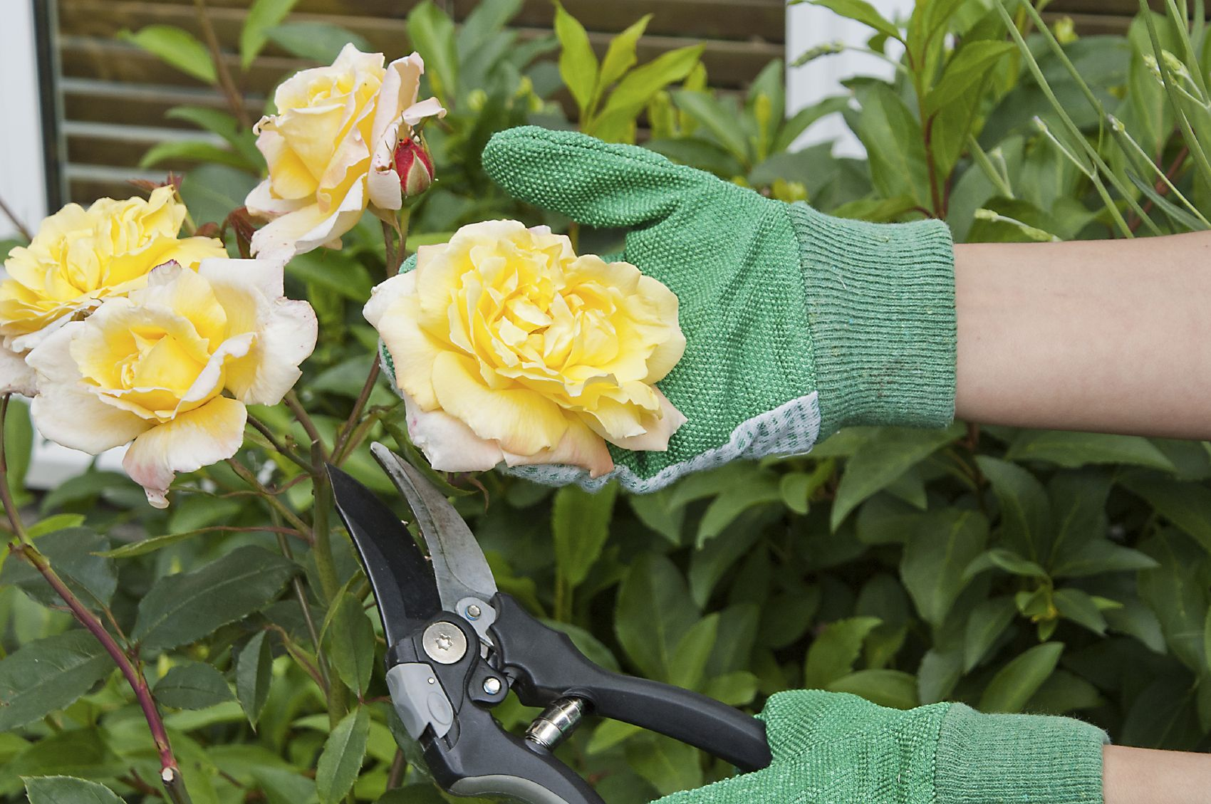 What Is Rose Picker's Disease Tips On Preventing A Rose