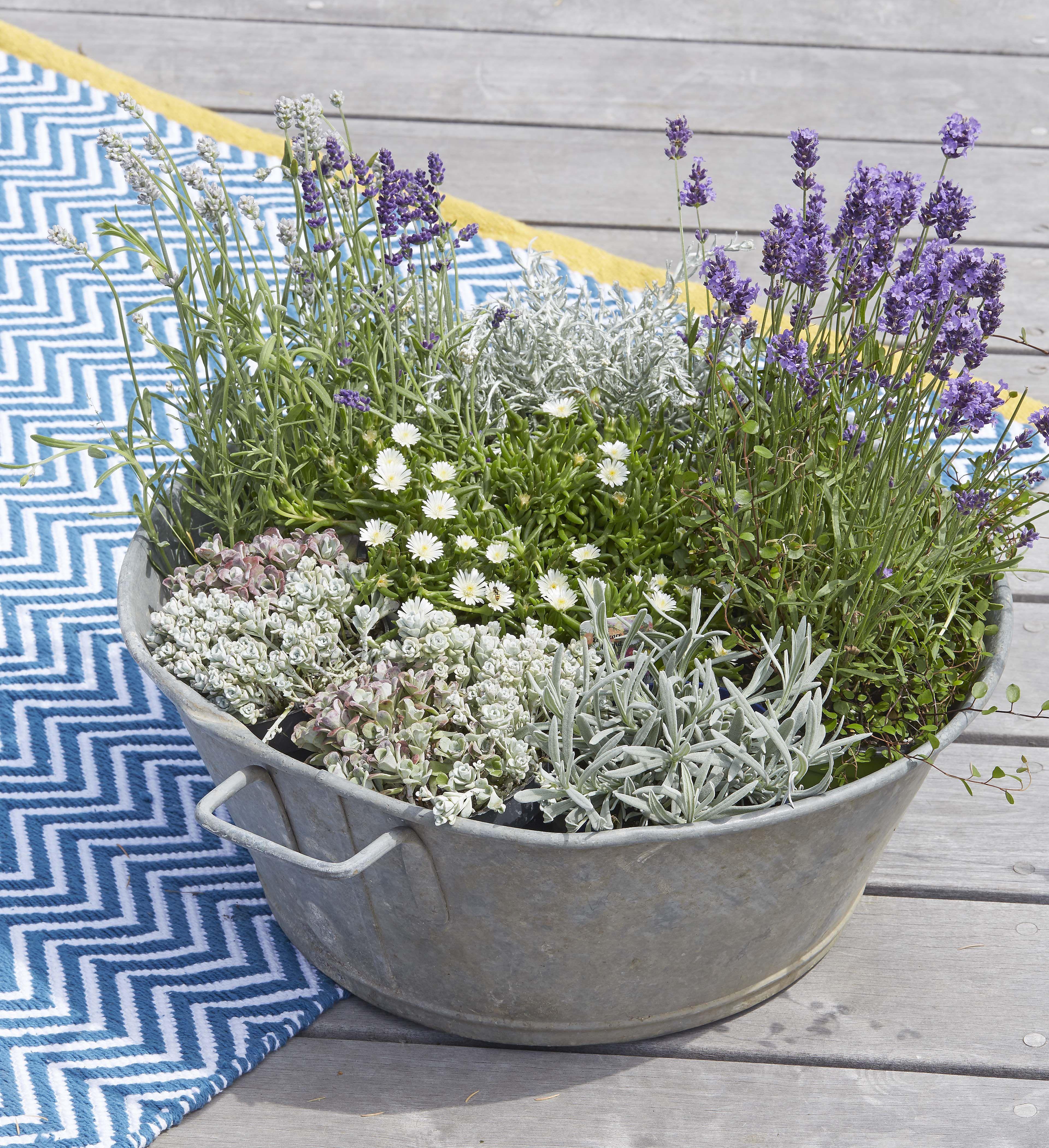 Lavande Et Plante D Argent Silverland Jardinerie Truffaut Fleurs De Lavande Deco Jardin