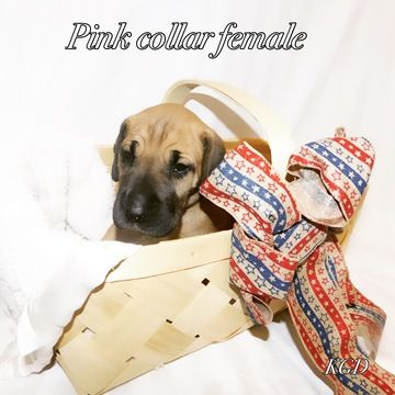 Litter Of 9 Great Dane Puppies For Sale In Neenah Wi Adn 32303