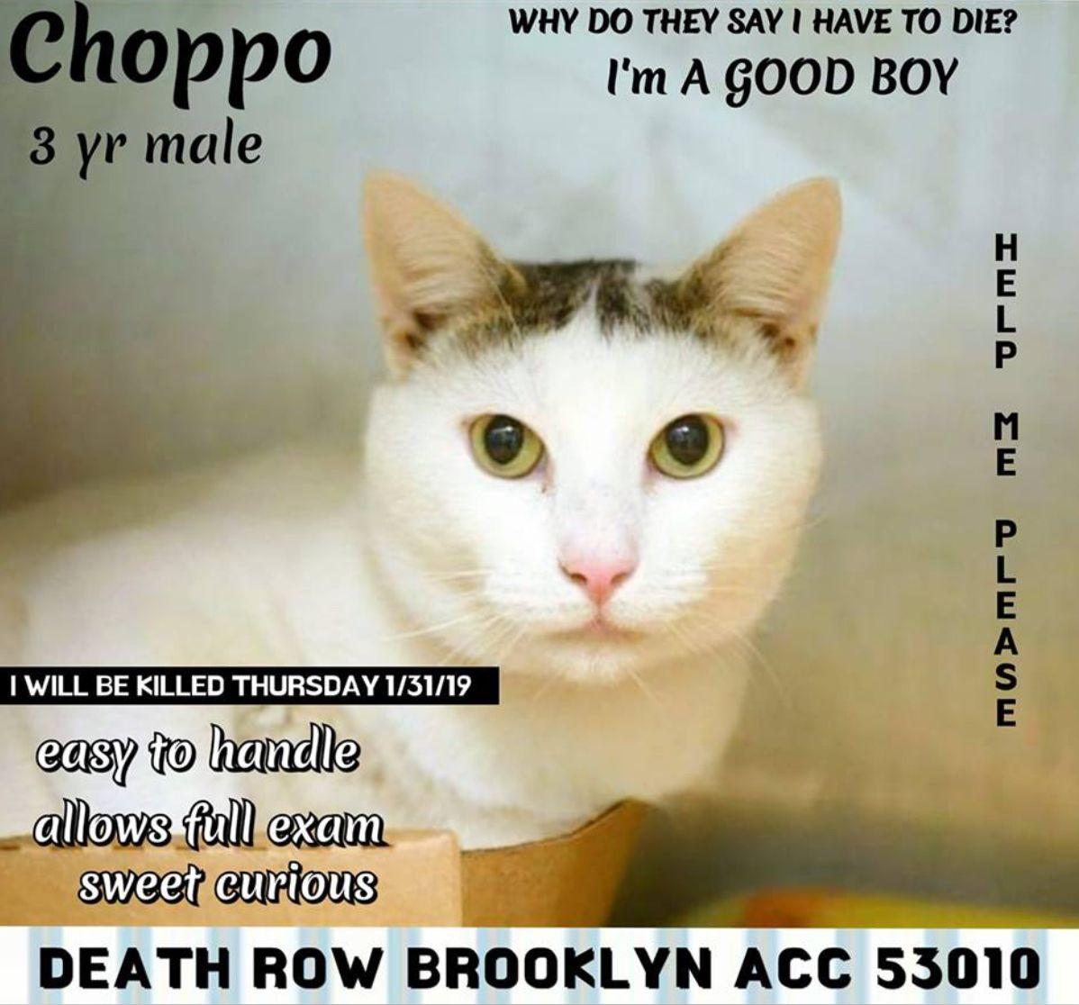 Choppo To Die 01 30 19 Cats Cat Adoption Foster Cat