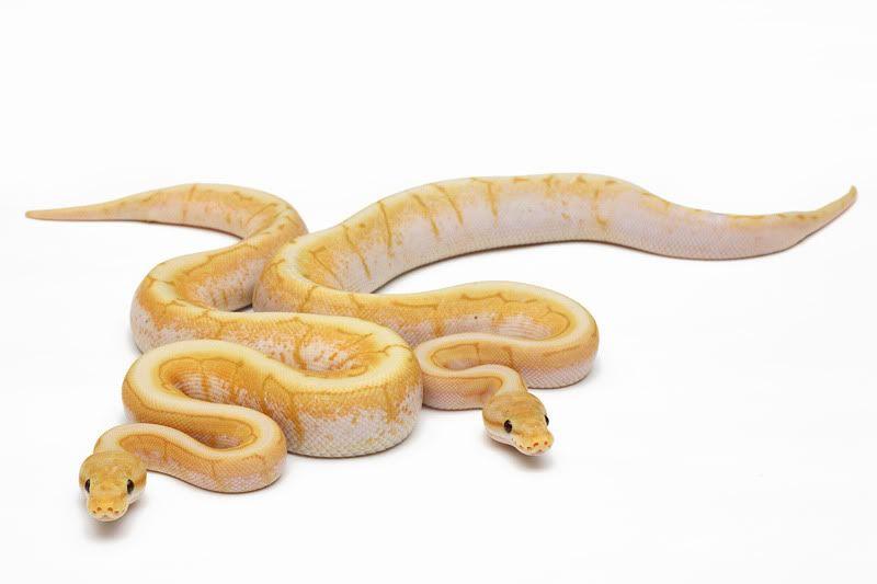 emperor pin ball python - Google Search