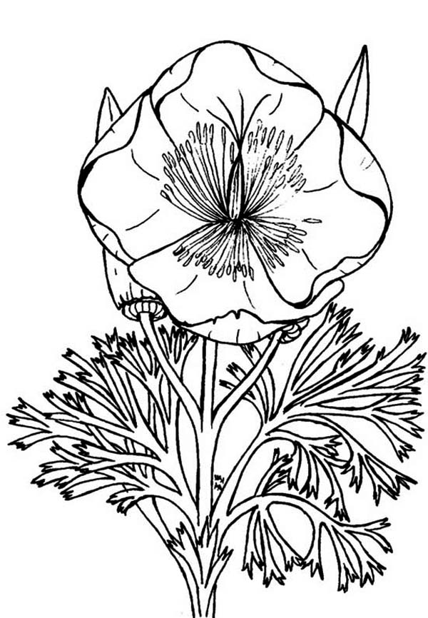 Eschscholzia California Poppy Coloring Page Color Luna