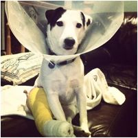 """#FanPhotoFriday: """"Daisy Duke tolerating her collar. Yes she got it off again. Yes she chewed on her cast,"""" via mojogurl on Instagram. This #Nipper lookalike is rocking a cone that evokes the phonograph from the classic #RCA story and image where Nipper hears his master's voice and reacts. #RCAdog #fanphoto #puppylove Check out more Nipper lookalikes at http://instagram.com/rcabrand"""