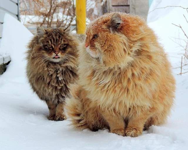 mullida majestuosa Gato siberiano granja de nieve del invierno