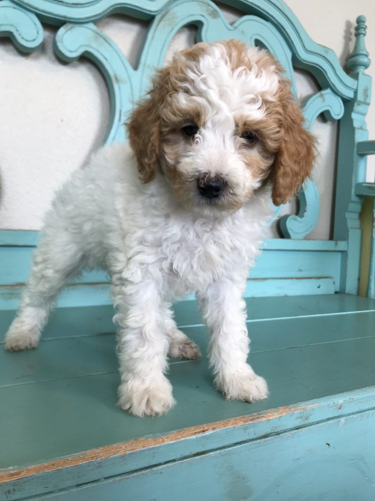 Puppies Soon To Come Idaho Doodles Poodles Puppies Poodle Animals