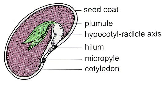 Anatomy of a bean seed