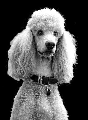 French Poodle Beloved Dog French Poodles Standard Poodle