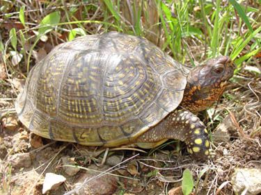 Three-toed box turtles, as their name implies, typically have three hind toes.  The hinged bottom shell allows the turtle to retreat inside as if enclosed in a box.  Males have red eyes and females have brown eyes.