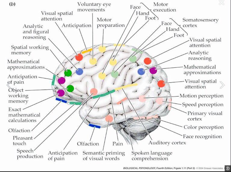 The Human Brain! A complex peace of art!! | Brain diagram ...