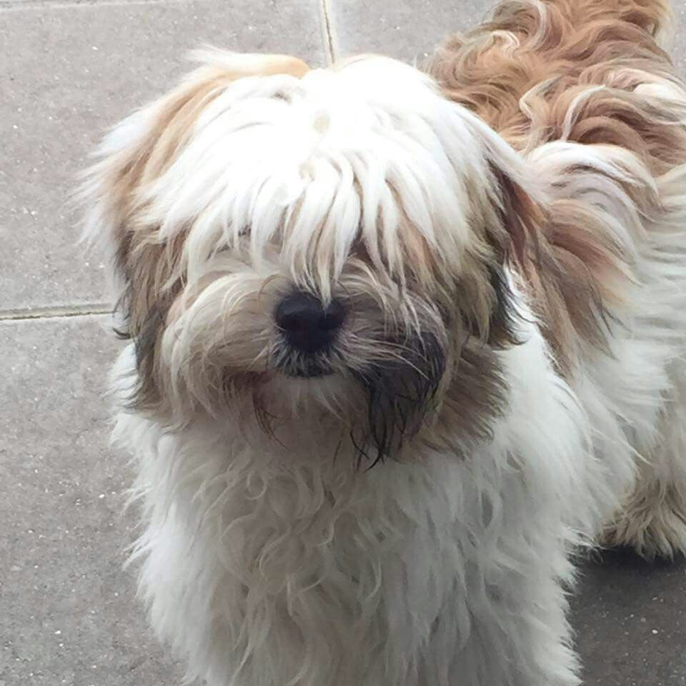 7 Month Old Tibetan Terrier Tibetan Terrier Terrier Beautiful Dogs