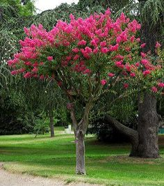 lagerstroemia indica coulie les jardins de ma style campagne french country cottage. Black Bedroom Furniture Sets. Home Design Ideas