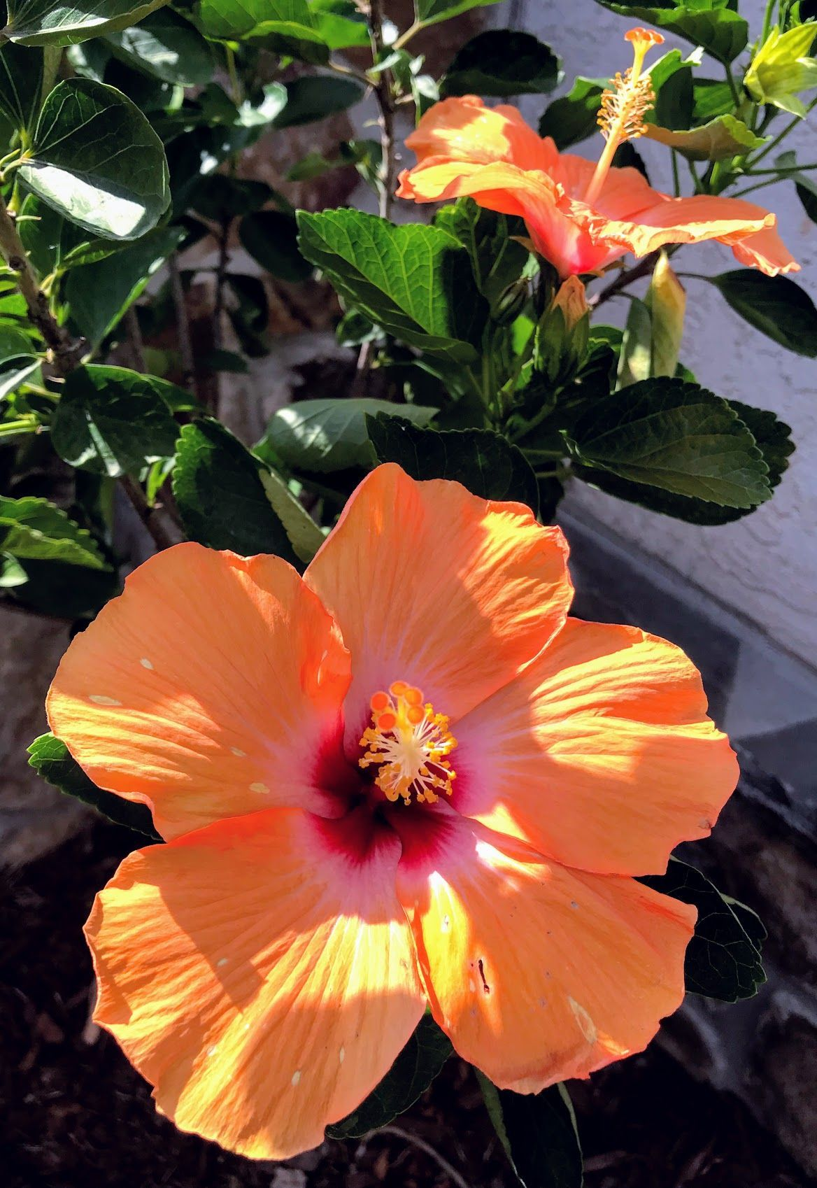 All Summer Long Color With A Hibiscus Tree Or Bush Bush
